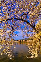 Cherry Blossoms, Cherry Tree Walk, Tidal Basin, Washington D.C., U.S.A.