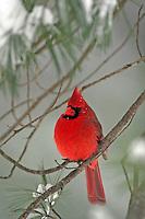 Male Cardinal  #B18
