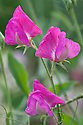 Lathyrus odoratus 'Antique Fantasy Mixed', late July.