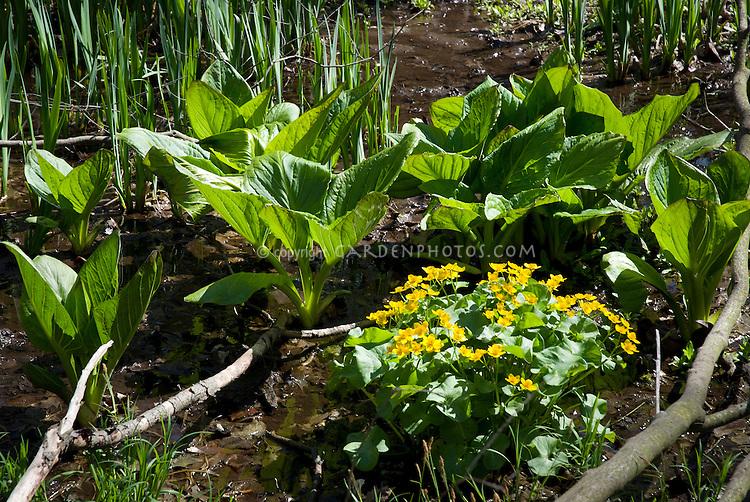 Caltha palustris & Symplocarpus foetidus (Marsh marigold & skunk cabbage) in swampy wet native habitat in New York state