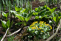 Caltha palustris & Symplocarpus foetidus (Marsh marigold & skunk cabbage) in swampy wet native habitat in New York state