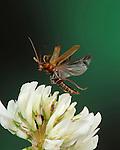 Soldier Beetle, Rhagonycha fulva, In flight, free flying, High Speed Photographic Technique.United Kingdom....