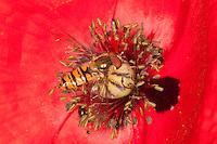 Hain-Schwebfliege, Gemeine Winterschwebfliege, Winter-Schwebfliege, Hainschwebfliege, Hain - Schwebfliege, Parkschwebfliege, Episyrphus balteatus, Blütenbesuch auf Mohn, Papaver