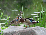 A Wood Duck pair stand atop a boulder on the shoreline of a pond near Lake Nokomis in the Twin Cities