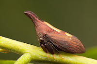 Two-marked Treehopper (Enchenopa binotata), West Harrison, Westchester County, New York