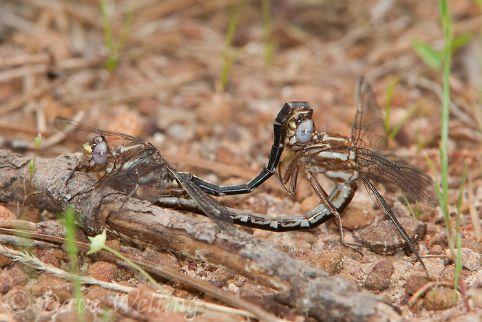 333890006 a wild pair of ashy clubtails gomphus lividus sit on the ground in copula or copulating in sam houston national forest in san jacinto county texas