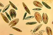 Paramecium caudatum Ciliate Protozoa with some in conjugation. LM X44.