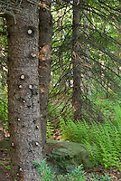 Tree branches removed from evergreen hemlock - pruning