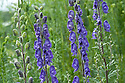 Tall purple-blue racemes of Aconitum 'Bressingham Spire', end June.