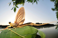 Immediately after hatching from their aquatic larval skin the subadult male Long-tailed Mayfly (Palingenia longicauda) flies towards the Tisza River bank to land on a leaf where it will undergo its last molt before it is going to mate and die within only a few hours.