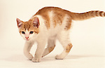 Domestic Cat, Kitten, 14 weeks old, Ginger & White, male, white background, walking, pet, cut out