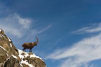 25.11.2008.Alpine Ibex (Capra ibex) in alpine landscape..Gran Paradiso National Park, Italy