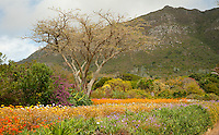 Kirstenbosch botanical gardens are world renowned for its floristic splendor, the spring months of August and September are particularly rewarding for the blooms of daisies.