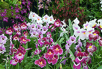 Miltonia & Miltoniopsis Orchids with other types in mass display