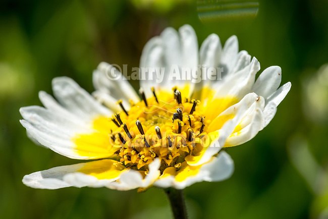 Tidytip wildflowers, Salt Spring Valley, Calif.