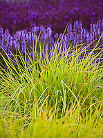 Autumn Moor Grass, Sesleria autumnalis, ornamental grass with Meadow Sage (Salvia x sylvestris) in Lurie Garden at Millenium Park, Chicago with blue and purple Meadow Sage