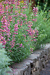 "Agastache ""Acapulco Pink and Orange"" lines the beds adjacent to the vegetable garden"