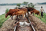 A cowherder resting on the tracks because it is the driest ground in the monsoon flooding.  The once-a-day train passed through in the morning. Decca to Peswawar; Bangladesh, 1983<br />