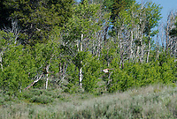 512660001 a pair of wild sandhill cranes grus canadensis take flight at dismal swamp modoc county california