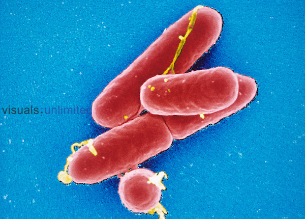Listeria monocytogenes Bacteria, the gram-positive bacilli pathogens of Listeriosis, a potentially deadly food poisoning. SEM  X40,000