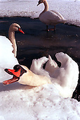 1/11/96.03 AT A LAKE IN CARNEGIE CENTER.  HOWEVER THESE SWANS DID NOT LOOK STRANDED TO ME JUST CONTENT TO BE FEED AND TOO LAZY TO LEAVE A GOOD THING. photo by jane therese