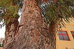 T-041 Eucalyptus trees in Hadera