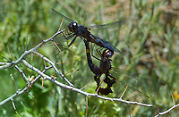 388520014 wild male and female black saddlebags tramea lacerata  perch in copula on a dead stick near rawson ponds 2 south of bishop california