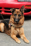 Police Dog K-9 Officer German Shepherd