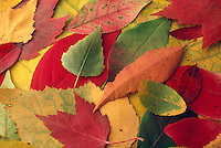 FALL FOLIAGE<br /> Carotin, Anthocyanin &amp; Chorophyll Pigments Shown<br /> In autumn as the days grow shorter, trees stop their food production. Chlorophyll breaks down the green color disappears and yellow to orange colors are visible. Other chemical changes occur causing the formation of anthocyanin and the purple red colors.