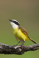 554810213 a wild great kiskadee pitangus sulphuratus perches on a dead mesquite tree limb on laguna seca ranch near edinburg texas united states