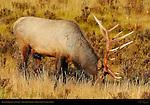 Bull Elk Grazing at Sunrise, Lower Mammoth, Yellowstone National Park, Wyoming