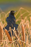 537840003 Boat-tailed Grackle Quiscalus major WILD_DLW0440.Male sitting in Tall Reeds.Anahuac National Wildlife Refuge, Texas
