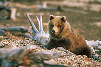 Brown bear cub, moose antler, Katmai National Park, Alaska