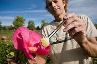 Farmer hand pollinating Hibiscus moscheutos 'Galaxy' flowers with brush for seed production