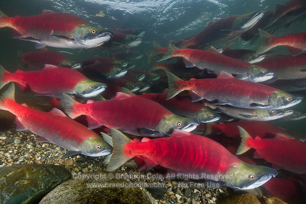 RY1422-D. Sockeye Salmon (Oncorhynchus nerka), school of male and female fish, swimming upstream to spawning beds. Adams River, British Columbia, Canada.<br /> Photo Copyright &copy; Brandon Cole. All rights reserved worldwide.  www.brandoncole.com