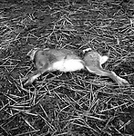 Hare Coursing... Lepus europaeus, or the common brown hare, is larger and more athletic than its cousin, the rabbit. Near Narborough, Norfolk...Hunting with Hounds / Mansion Editions (isbn 0-9542233-1-4) copyright Homer Sykes. +44 (0) 20-8542-7083. < www.mansioneditions.com >..