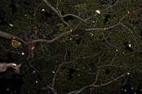 Boni, advancing along a branch, holds in his hand a smoker made of ficus roots. The bees in flight, lit up by our flashlights, sparkle like little stars. ///Boni en pleine progression sur une branche tient en main un enfumoir composé de racines de ficus. Les abeilles en vol éclairées par notre lumière scintillent comme des étoiles.