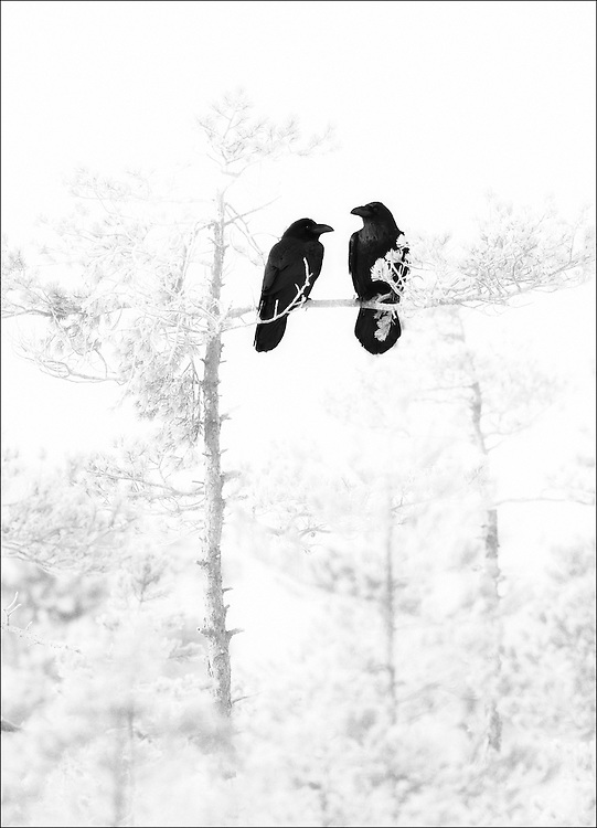 A pair of ravens, Estonia