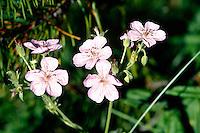 WILDFLOWERS<br /> Geranium Caespitosum<br /> Geraniaceae family<br /> Telluride, CO