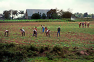Cuba, 1992: Plowing with a pair of oxen and weeding freshly planted tobacco field in Vinales area, Cuba.