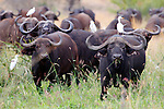 Africa, Kenya, Meru. Buffalo herd of Meru National Park.
