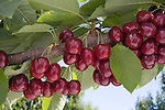 Lapins cherries, East Wenatchee, Washington.