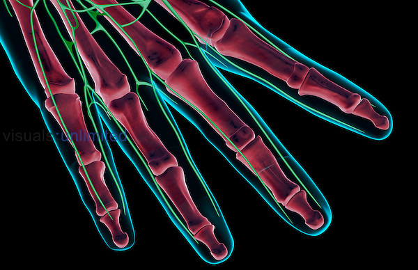 An anterior view of the lymph supply of the fingers of the right hand. The surface anatomy of the body is semi-transparent and tinted blue. Royalty Free