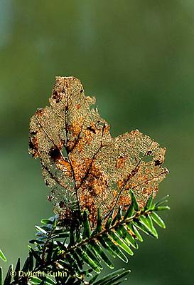 LF14-002z  Leaf decomposing