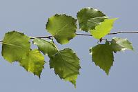 Hänge-Birke, Sand-Birke, Birke, Hängebirke, Betula pendula, Blätter, Blatt vor blauem Himmel, European White Birch, Silver Birch