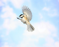 A black-capped chickadee (Parus atricapillus) in Flight.