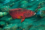 Coronation grouper (Variola louti)