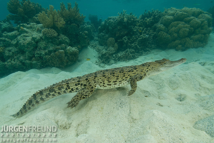 Saltwater Crocodile Un...