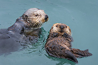 Sea Otter (Enhydra lutris) mom with young pup.  Prince William Sound, Alaska.  Spring.   Mom is checking on floating pup between dives for  food.  Mothers with young pups usually touch the pup between dives for food. The pup is often left for two or three minutes while the mother forages on the bottom, but once she comes to the surface to eat whatever she has caught she will almost always come over and touch (reassure) the pup who at this stage is to young and uncoordinated to follow the mom.