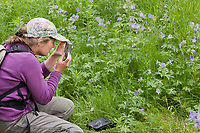 Hike pauses to photograph Wild geranium flowers along a trail, Katmai National Park, southwest, Alaska.